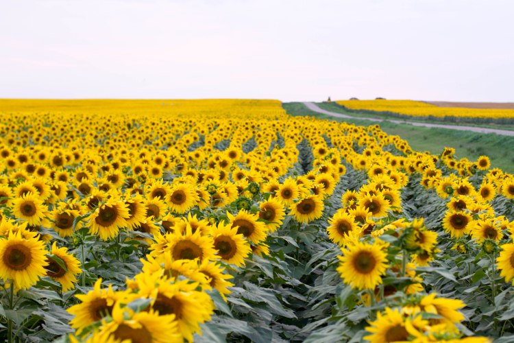 Sunflowers and Soybeans -6