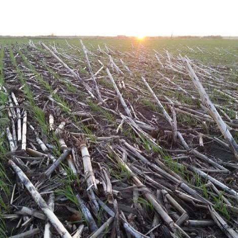 no-till farming, wheat, Rohrich Farms, North Dakota, Zeeland, Organic residue