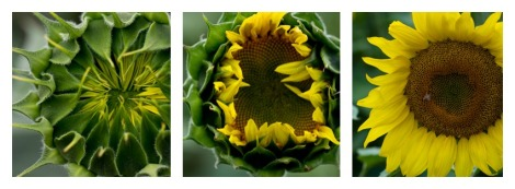 RohrichFarms Sunflower