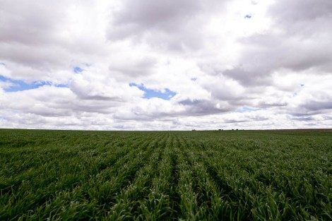 North Dakota Wheat Field